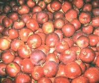 Sadnice voca jabuka red jonaprince