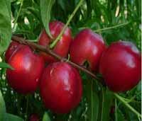 Sadnice voca nektarina kaldezi