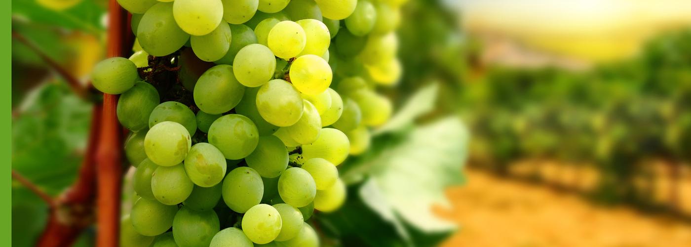 LOZNI KALEMOVI - vinova loza vrhunskog kvaliteta!