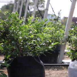 Sadnja sadnica borovnica u vreće od agrotekstila