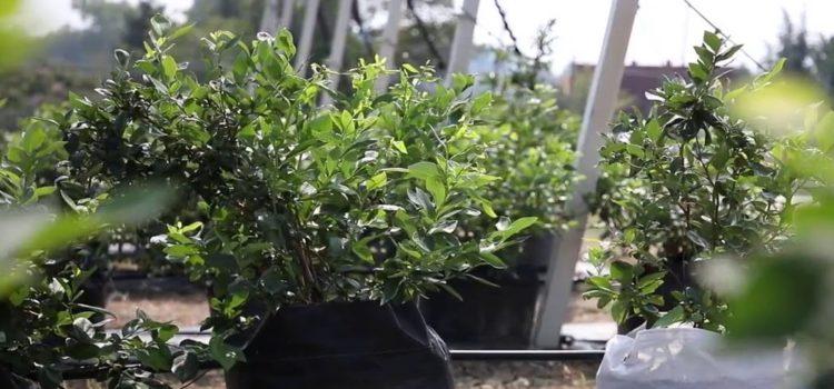 sadnica borovnica