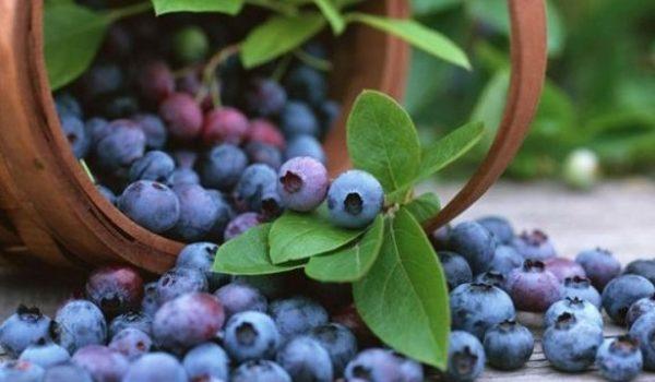 sadnja borovnice