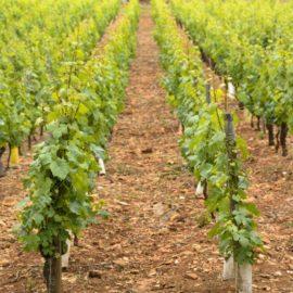 Nega mladog vinograda u prvoj godini