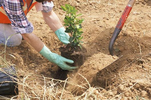 sadnja sadnice voca