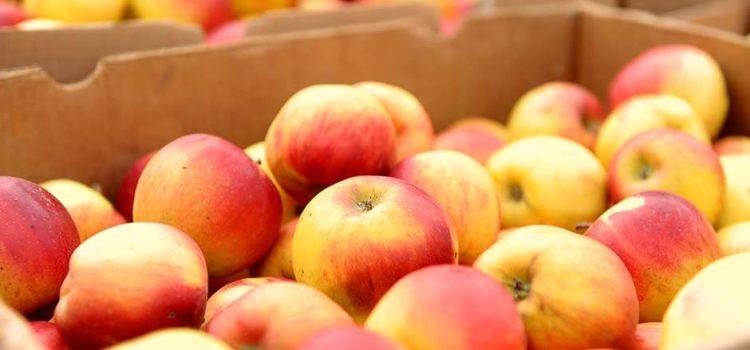 izvoz jabuke