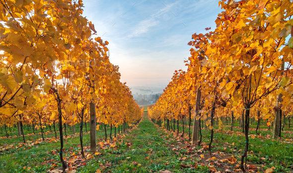 Jesenji radovi u vinogradu
