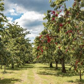 Zbog čega je trešnja isplativa voćna vrsta?